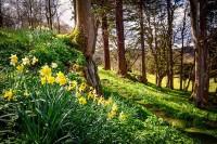 Palé Hall garden spring daffodils
