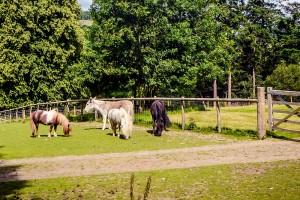 shetland ponies donkey