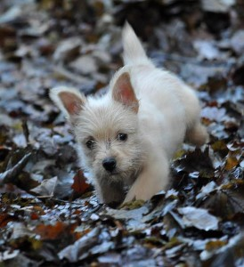Ted terrier puppy