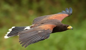 Birds of Prey experience at Palé Hall